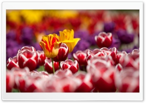 Garden Tulips HD Wide Wallpaper for Widescreen