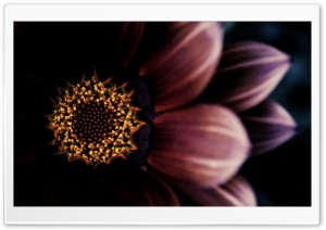 Gazania Dark Background HD Wide Wallpaper for Widescreen