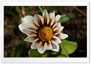 Gazania Flower HD Wide Wallpaper for Widescreen