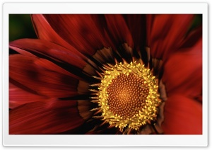 Gazania Macro HD Wide Wallpaper for Widescreen