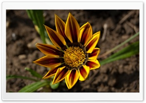 Gazania Tiger Stripe HD Wide Wallpaper for 4K UHD Widescreen desktop & smartphone