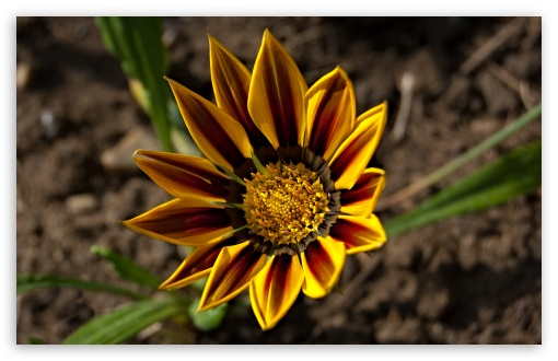 Gazania Tiger Stripe HD wallpaper for Wide 16:10 5:3 Widescreen WHXGA WQXGA WUXGA WXGA WGA ; HD 16:9 High Definition WQHD QWXGA 1080p 900p 720p QHD nHD ; Standard 4:3 5:4 3:2 Fullscreen UXGA XGA SVGA QSXGA SXGA DVGA HVGA HQVGA devices ( Apple PowerBook G4 iPhone 4 3G 3GS iPod Touch ) ; Tablet 1:1 ; iPad 1/2/Mini ; Mobile 4:3 5:3 3:2 16:9 5:4 - UXGA XGA SVGA WGA DVGA HVGA HQVGA devices ( Apple PowerBook G4 iPhone 4 3G 3GS iPod Touch ) WQHD QWXGA 1080p 900p 720p QHD nHD QSXGA SXGA ;