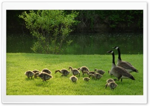 Geese And Goslings HD Wide Wallpaper for Widescreen