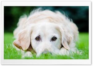 Gentle Puppy Eyes HD Wide Wallpaper for 4K UHD Widescreen desktop & smartphone