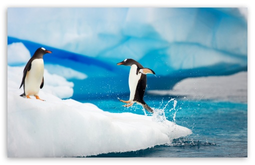 Gentoo Penguins HD wallpaper for Wide 16:10 5:3 Widescreen WHXGA WQXGA WUXGA WXGA WGA ; HD 16:9 High Definition WQHD QWXGA 1080p 900p 720p QHD nHD ; Standard 4:3 5:4 3:2 Fullscreen UXGA XGA SVGA QSXGA SXGA DVGA HVGA HQVGA devices ( Apple PowerBook G4 iPhone 4 3G 3GS iPod Touch ) ; Tablet 1:1 ; iPad 1/2/Mini ; Mobile 4:3 5:3 3:2 16:9 5:4 - UXGA XGA SVGA WGA DVGA HVGA HQVGA devices ( Apple PowerBook G4 iPhone 4 3G 3GS iPod Touch ) WQHD QWXGA 1080p 900p 720p QHD nHD QSXGA SXGA ;
