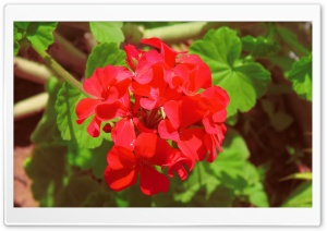 Geranium HD Wide Wallpaper for Widescreen