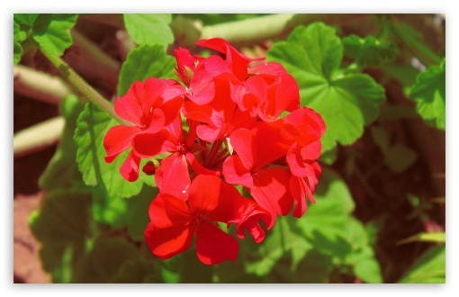 Geranium ❤ 4K UHD Wallpaper for Wide 16:10 5:3 Widescreen WHXGA WQXGA WUXGA WXGA WGA ; 4K UHD 16:9 Ultra High Definition 2160p 1440p 1080p 900p 720p ; UHD 16:9 2160p 1440p 1080p 900p 720p ; Standard 4:3 5:4 3:2 Fullscreen UXGA XGA SVGA QSXGA SXGA DVGA HVGA HQVGA ( Apple PowerBook G4 iPhone 4 3G 3GS iPod Touch ) ; Tablet 1:1 ; iPad 1/2/Mini ; Mobile 4:3 5:3 3:2 16:9 5:4 - UXGA XGA SVGA WGA DVGA HVGA HQVGA ( Apple PowerBook G4 iPhone 4 3G 3GS iPod Touch ) 2160p 1440p 1080p 900p 720p QSXGA SXGA ;