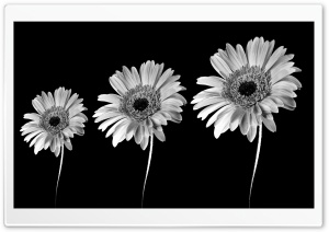 Gerbera Daisies Black And White HD Wide Wallpaper for 4K UHD Widescreen desktop & smartphone
