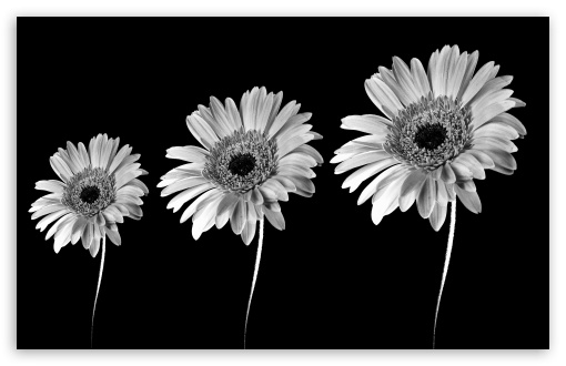 Gerbera Daisies Black And White HD wallpaper for Standard 4:3 5:4 Fullscreen UXGA XGA SVGA QSXGA SXGA ; Wide 16:10 5:3 Widescreen WHXGA WQXGA WUXGA WXGA WGA ; HD 16:9 High Definition WQHD QWXGA 1080p 900p 720p QHD nHD ; Other 3:2 DVGA HVGA HQVGA devices ( Apple PowerBook G4 iPhone 4 3G 3GS iPod Touch ) ; Mobile VGA WVGA iPhone iPad PSP Phone - VGA QVGA Smartphone ( PocketPC GPS iPod Zune BlackBerry HTC Samsung LG Nokia Eten Asus ) WVGA WQVGA Smartphone ( HTC Samsung Sony Ericsson LG Vertu MIO ) HVGA Smartphone ( Apple iPhone iPod BlackBerry HTC Samsung Nokia ) Sony PSP Zune HD Zen ;