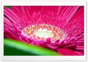 Gerbera Daisies Flowers 10 HD Wide Wallpaper for Widescreen