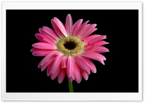 Gerbera Daisies Flowers 14 HD Wide Wallpaper for Widescreen