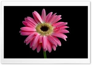 Gerbera Daisies Flowers 14 HD Wide Wallpaper for 4K UHD Widescreen desktop & smartphone