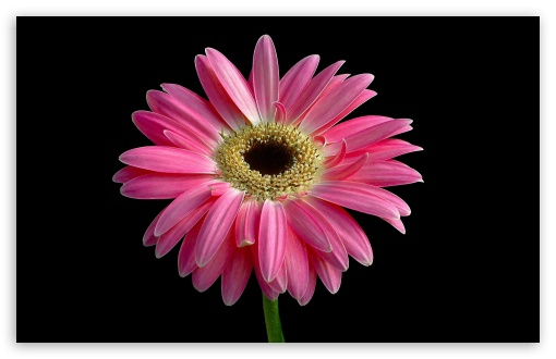 Gerbera Daisies Flowers 14 HD wallpaper for Wide 16:10 5:3 Widescreen WHXGA WQXGA WUXGA WXGA WGA ; HD 16:9 High Definition WQHD QWXGA 1080p 900p 720p QHD nHD ; Standard 4:3 5:4 3:2 Fullscreen UXGA XGA SVGA QSXGA SXGA DVGA HVGA HQVGA devices ( Apple PowerBook G4 iPhone 4 3G 3GS iPod Touch ) ; Tablet 1:1 ; iPad 1/2/Mini ; Mobile 4:3 5:3 3:2 16:9 5:4 - UXGA XGA SVGA WGA DVGA HVGA HQVGA devices ( Apple PowerBook G4 iPhone 4 3G 3GS iPod Touch ) WQHD QWXGA 1080p 900p 720p QHD nHD QSXGA SXGA ;