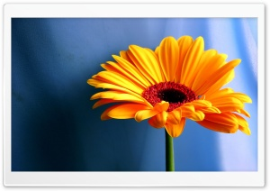 Gerbera Daisies Flowers 18 HD Wide Wallpaper for Widescreen
