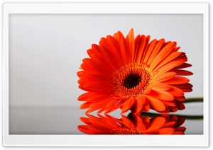 Gerbera Daisies Flowers 3 HD Wide Wallpaper for Widescreen