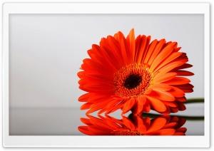 Gerbera Daisies Flowers 3 HD Wide Wallpaper for 4K UHD Widescreen desktop & smartphone