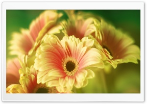 Gerbera Daisy Bouquet HD Wide Wallpaper for Widescreen
