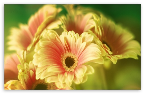 Gerbera Daisy Bouquet ❤ 4K UHD Wallpaper for Wide 16:10 5:3 Widescreen WHXGA WQXGA WUXGA WXGA WGA ; 4K UHD 16:9 Ultra High Definition 2160p 1440p 1080p 900p 720p ; UHD 16:9 2160p 1440p 1080p 900p 720p ; Standard 4:3 5:4 3:2 Fullscreen UXGA XGA SVGA QSXGA SXGA DVGA HVGA HQVGA ( Apple PowerBook G4 iPhone 4 3G 3GS iPod Touch ) ; Smartphone 5:3 WGA ; Tablet 1:1 ; iPad 1/2/Mini ; Mobile 4:3 5:3 3:2 16:9 5:4 - UXGA XGA SVGA WGA DVGA HVGA HQVGA ( Apple PowerBook G4 iPhone 4 3G 3GS iPod Touch ) 2160p 1440p 1080p 900p 720p QSXGA SXGA ;