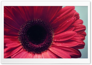 Gerbera Flower HD Wide Wallpaper for Widescreen