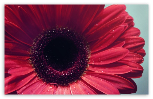 Gerbera Flower ❤ 4K UHD Wallpaper for Wide 16:10 5:3 Widescreen WHXGA WQXGA WUXGA WXGA WGA ; 4K UHD 16:9 Ultra High Definition 2160p 1440p 1080p 900p 720p ; Standard 4:3 5:4 3:2 Fullscreen UXGA XGA SVGA QSXGA SXGA DVGA HVGA HQVGA ( Apple PowerBook G4 iPhone 4 3G 3GS iPod Touch ) ; iPad 1/2/Mini ; Mobile 4:3 5:3 3:2 16:9 5:4 - UXGA XGA SVGA WGA DVGA HVGA HQVGA ( Apple PowerBook G4 iPhone 4 3G 3GS iPod Touch ) 2160p 1440p 1080p 900p 720p QSXGA SXGA ;