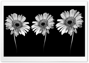Gerbera Flowers -  Minimalism HD Wide Wallpaper for Widescreen