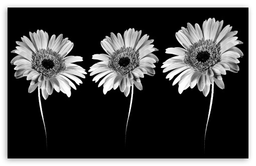 Gerbera Flowers -  Minimalism HD wallpaper for Wide 16:10 5:3 Widescreen WHXGA WQXGA WUXGA WXGA WGA ; HD 16:9 High Definition WQHD QWXGA 1080p 900p 720p QHD nHD ; Tablet 1:1 ; Mobile 5:3 16:9 - WGA WQHD QWXGA 1080p 900p 720p QHD nHD ;