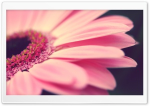 Gerbera Macro Ultra HD Wallpaper for 4K UHD Widescreen desktop, tablet & smartphone