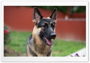 German Shepherd Face HD Wide Wallpaper for Widescreen