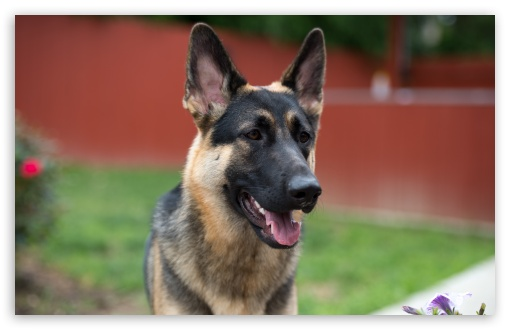 German Shepherd Face ❤ 4K UHD Wallpaper for Wide 16:10 5:3 Widescreen WHXGA WQXGA WUXGA WXGA WGA ; 4K UHD 16:9 Ultra High Definition 2160p 1440p 1080p 900p 720p ; UHD 16:9 2160p 1440p 1080p 900p 720p ; Standard 4:3 5:4 3:2 Fullscreen UXGA XGA SVGA QSXGA SXGA DVGA HVGA HQVGA ( Apple PowerBook G4 iPhone 4 3G 3GS iPod Touch ) ; Tablet 1:1 ; iPad 1/2/Mini ; Mobile 4:3 5:3 3:2 5:4 - UXGA XGA SVGA WGA DVGA HVGA HQVGA ( Apple PowerBook G4 iPhone 4 3G 3GS iPod Touch ) QSXGA SXGA ;