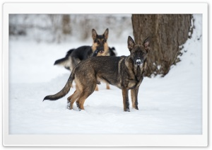 German Shepherd in Snow HD Wide Wallpaper for Widescreen