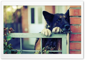 German Shepherd Over The Fence HD Wide Wallpaper for 4K UHD Widescreen desktop & smartphone