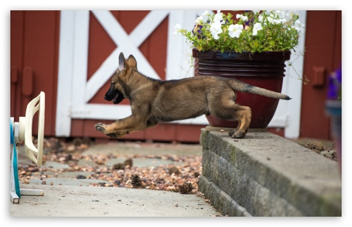 German Shepherd Puppy Leaping HD wallpaper for Wide 16:10 5:3 Widescreen WHXGA WQXGA WUXGA WXGA WGA ; HD 16:9 High Definition WQHD QWXGA 1080p 900p 720p QHD nHD ; UHD 16:9 WQHD QWXGA 1080p 900p 720p QHD nHD ; Standard 4:3 5:4 3:2 Fullscreen UXGA XGA SVGA QSXGA SXGA DVGA HVGA HQVGA devices ( Apple PowerBook G4 iPhone 4 3G 3GS iPod Touch ) ; Tablet 1:1 ; iPad 1/2/Mini ; Mobile 4:3 5:3 3:2 16:9 5:4 - UXGA XGA SVGA WGA DVGA HVGA HQVGA devices ( Apple PowerBook G4 iPhone 4 3G 3GS iPod Touch ) WQHD QWXGA 1080p 900p 720p QHD nHD QSXGA SXGA ;