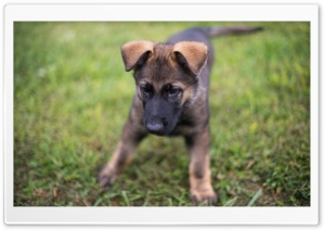 German Shepherd Puppy Playing HD Wide Wallpaper for Widescreen