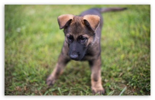 German Shepherd Puppy Playing HD wallpaper for Wide 16:10 5:3 Widescreen WHXGA WQXGA WUXGA WXGA WGA ; HD 16:9 High Definition WQHD QWXGA 1080p 900p 720p QHD nHD ; UHD 16:9 WQHD QWXGA 1080p 900p 720p QHD nHD ; Standard 4:3 5:4 3:2 Fullscreen UXGA XGA SVGA QSXGA SXGA DVGA HVGA HQVGA devices ( Apple PowerBook G4 iPhone 4 3G 3GS iPod Touch ) ; Tablet 1:1 ; iPad 1/2/Mini ; Mobile 4:3 5:3 3:2 16:9 5:4 - UXGA XGA SVGA WGA DVGA HVGA HQVGA devices ( Apple PowerBook G4 iPhone 4 3G 3GS iPod Touch ) WQHD QWXGA 1080p 900p 720p QHD nHD QSXGA SXGA ;