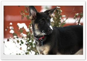 German Shepherd Puppy Snow HD Wide Wallpaper for Widescreen