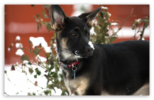 German Shepherd Puppy Snow ❤ 4K UHD Wallpaper for Wide 16:10 5:3 Widescreen WHXGA WQXGA WUXGA WXGA WGA ; 4K UHD 16:9 Ultra High Definition 2160p 1440p 1080p 900p 720p ; UHD 16:9 2160p 1440p 1080p 900p 720p ; Standard 4:3 5:4 3:2 Fullscreen UXGA XGA SVGA QSXGA SXGA DVGA HVGA HQVGA ( Apple PowerBook G4 iPhone 4 3G 3GS iPod Touch ) ; Tablet 1:1 ; iPad 1/2/Mini ; Mobile 4:3 5:3 3:2 16:9 5:4 - UXGA XGA SVGA WGA DVGA HVGA HQVGA ( Apple PowerBook G4 iPhone 4 3G 3GS iPod Touch ) 2160p 1440p 1080p 900p 720p QSXGA SXGA ;