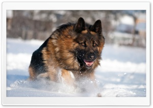 German Shepherd Running In Snow HD Wide Wallpaper for 4K UHD Widescreen desktop & smartphone