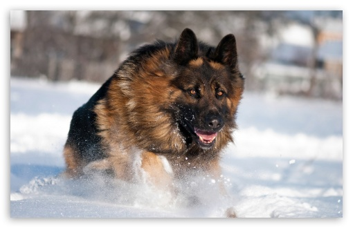 German Shepherd Running In Snow HD wallpaper for Wide 16:10 5:3 Widescreen WHXGA WQXGA WUXGA WXGA WGA ; HD 16:9 High Definition WQHD QWXGA 1080p 900p 720p QHD nHD ; Standard 4:3 5:4 3:2 Fullscreen UXGA XGA SVGA QSXGA SXGA DVGA HVGA HQVGA devices ( Apple PowerBook G4 iPhone 4 3G 3GS iPod Touch ) ; Tablet 1:1 ; iPad 1/2/Mini ; Mobile 4:3 5:3 3:2 16:9 5:4 - UXGA XGA SVGA WGA DVGA HVGA HQVGA devices ( Apple PowerBook G4 iPhone 4 3G 3GS iPod Touch ) WQHD QWXGA 1080p 900p 720p QHD nHD QSXGA SXGA ;