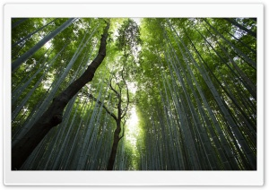 Giant Bamboos HD Wide Wallpaper for Widescreen