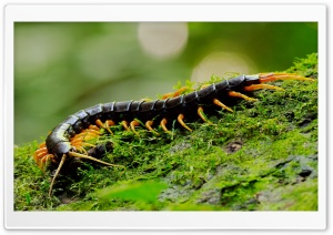 Giant Centipede Macro HD Wide Wallpaper for Widescreen
