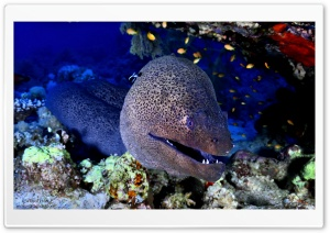 Giant Moray, Red Sea HD Wide Wallpaper for Widescreen