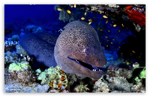 Giant Moray, Red Sea ❤ 4K UHD Wallpaper for Wide 16:10 5:3 Widescreen WHXGA WQXGA WUXGA WXGA WGA ; 4K UHD 16:9 Ultra High Definition 2160p 1440p 1080p 900p 720p ; Standard 4:3 5:4 3:2 Fullscreen UXGA XGA SVGA QSXGA SXGA DVGA HVGA HQVGA ( Apple PowerBook G4 iPhone 4 3G 3GS iPod Touch ) ; iPad 1/2/Mini ; Mobile 4:3 5:3 3:2 5:4 - UXGA XGA SVGA WGA DVGA HVGA HQVGA ( Apple PowerBook G4 iPhone 4 3G 3GS iPod Touch ) QSXGA SXGA ;