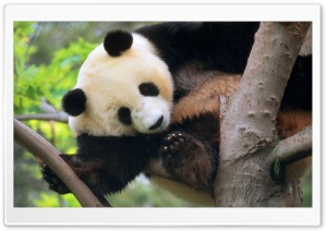 Giant Panda In A Tree HD Wide Wallpaper for Widescreen