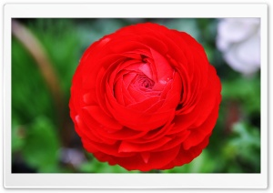 Giant Red Flower HD Wide Wallpaper for Widescreen