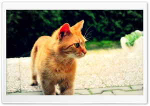 Ginger Cat HD Wide Wallpaper for Widescreen