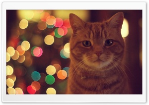Ginger Cat HD Wide Wallpaper for 4K UHD Widescreen desktop & smartphone