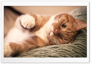 Ginger Cat Lazy HD Wide Wallpaper for 4K UHD Widescreen desktop & smartphone