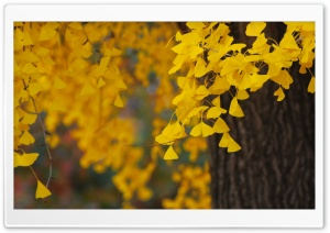 Ginkgo HD Wide Wallpaper for Widescreen
