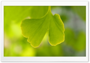 Ginkgo Leaf HD Wide Wallpaper for Widescreen