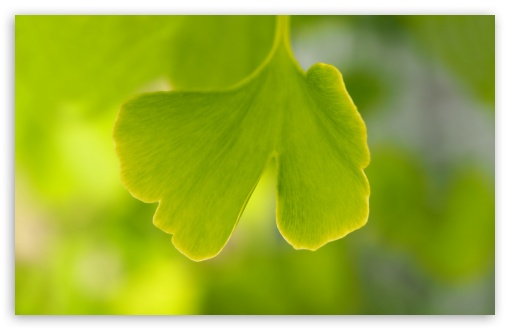 Ginkgo Leaf ❤ 4K UHD Wallpaper for Wide 16:10 5:3 Widescreen WHXGA WQXGA WUXGA WXGA WGA ; UltraWide 21:9 24:10 ; 4K UHD 16:9 Ultra High Definition 2160p 1440p 1080p 900p 720p ; UHD 16:9 2160p 1440p 1080p 900p 720p ; Standard 4:3 5:4 3:2 Fullscreen UXGA XGA SVGA QSXGA SXGA DVGA HVGA HQVGA ( Apple PowerBook G4 iPhone 4 3G 3GS iPod Touch ) ; Tablet 1:1 ; iPad 1/2/Mini ; Mobile 4:3 5:3 3:2 16:9 5:4 - UXGA XGA SVGA WGA DVGA HVGA HQVGA ( Apple PowerBook G4 iPhone 4 3G 3GS iPod Touch ) 2160p 1440p 1080p 900p 720p QSXGA SXGA ;